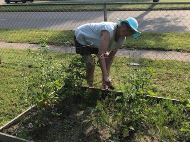 woman weeding tomato plants